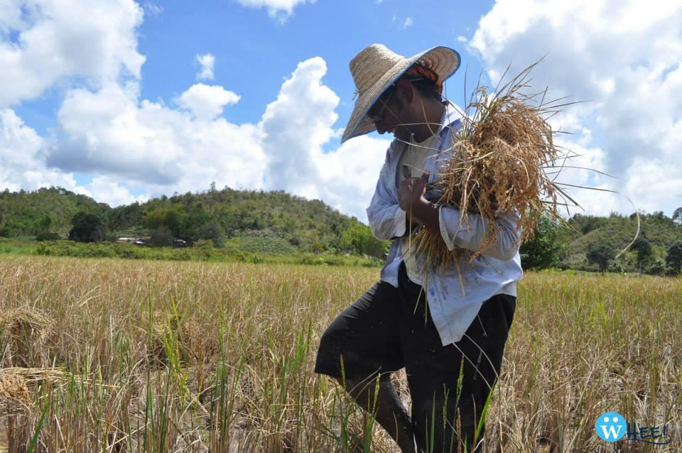 Devraj Sathivelu of Batch 5 giving paddy harvesting a go.